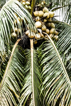 Coconut trees in the Caribbean  ( HDR image ) photo