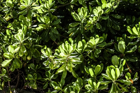 iceplant: Beach green leaves in India