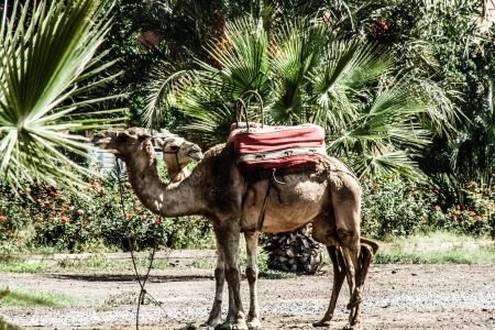 marocco: Morocco Camel sittin in park