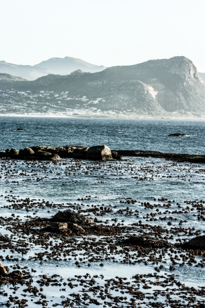waddling: Boulders Beach, Cape Town South Africa