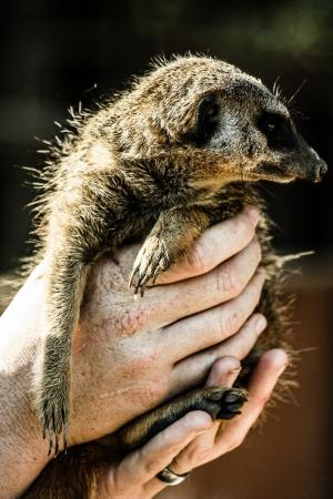 suricate: A portrait of a cute african suricate