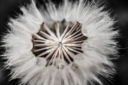 Close-up of dandelion seed  photo