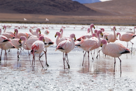 sud: Flamingos on lake in Andes, the southern part of Bolivia