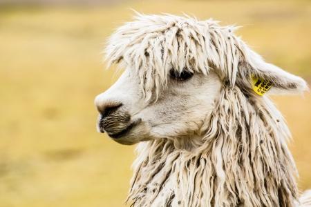 Peruvian alpaca in natural background. photo