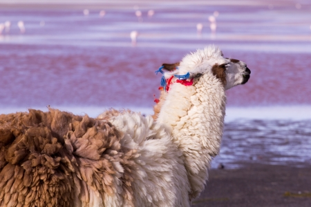 Lama on the Laguna Colorada, Bolivia  photo
