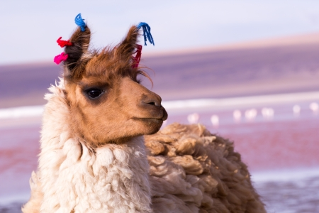 Lama sur la Laguna Colorada, Bolivie photo