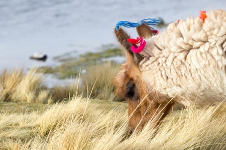 Lama on the Laguna Colorada, Bolivia  photo