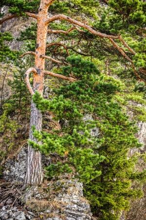 giewont: Mountain pine tree in autumn season, Tatry Mountains, Poland