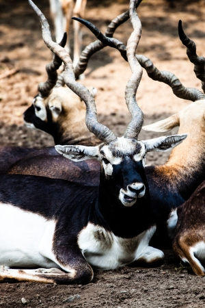Indian Black Buck Antelope photo