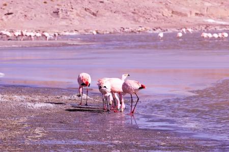 アンデスのボリビアの南部にある湖のフラミンゴ