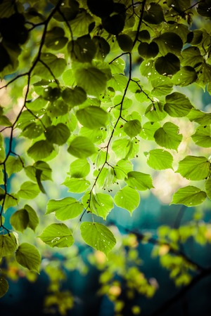 Green leaves with sun beans in summer, Poland. photo
