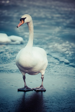 edge of the ice: Mute Swan walking in the natural winter environment. Stock Photo