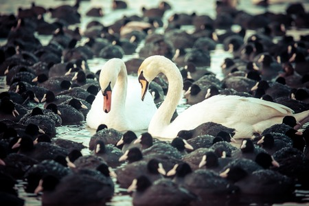 White swans on a lake, around many coots. photo