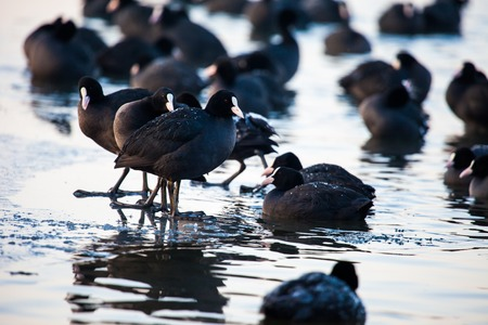 followers: Flock of coots ( fulica atra ) walking on frozen surface of the lake. Stock Photo