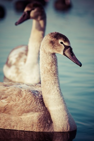 cygnus olor: Portrait of a young swan (Cygnus olor), Poland,Pogoria lake. Winter time.  Stock Photo