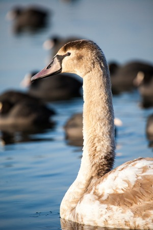peacefulness: Portrait of a young swan (Cygnus olor), Poland,Pogoria lake. Winter time.  Stock Photo