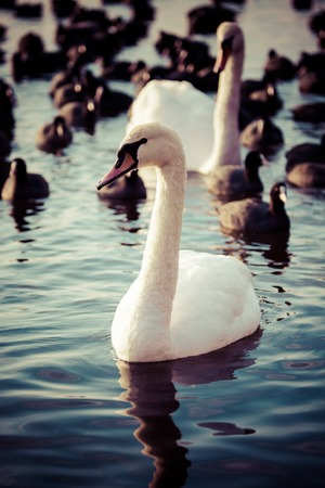 Swan floating on the water at winter time. photo