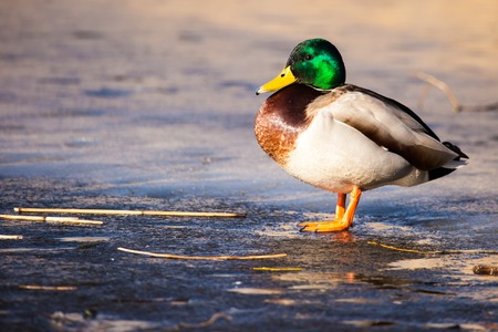 Wild Mallard ducks sitting in lake ice. photo