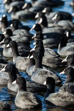 flock of coots ( fulica atra ) on frozen lake  photo