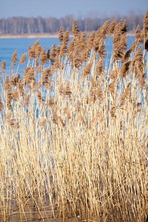 bullrush: Common Reed (Phragmites) in the Pogoria III lake, Poland.