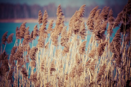 Common Reed (Phragmites) in the Pogoria III lake, Poland. photo