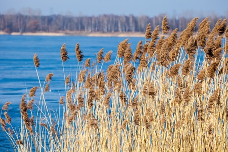 common reed: Common Reed (Phragmites) in the Pogoria III lake, Poland.