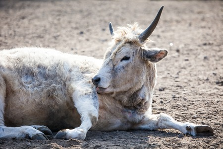 dry cow: White cow sitting in dry ground.