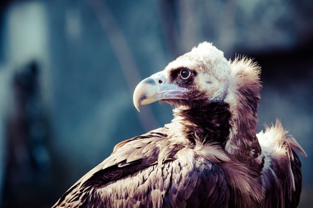 Cinereous Vulture portrait  photo