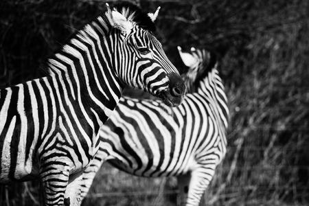animal zebre portrait  Banque d'images