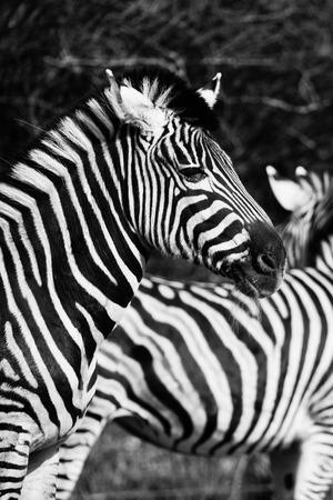 animal zebre portrait  photo