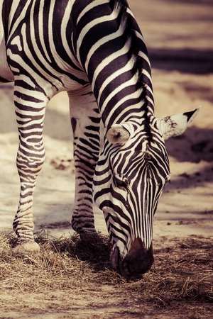 burchell: Zebra, Serengeti National Park, Tanzania, East Africa