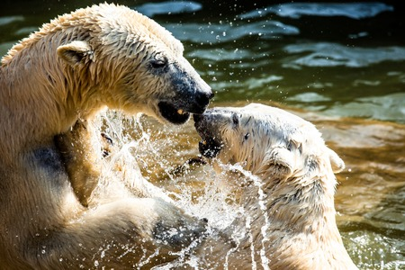 Polar bears fighting photo