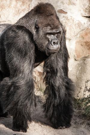 Face portrait of a gorilla male Stock Photo