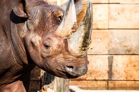 Black rhino head . photo