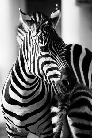 Zebra, Serengeti National Park, Tanzania, East Africa photo