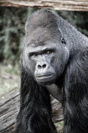 silverback: Face portrait of a gorilla male Stock Photo