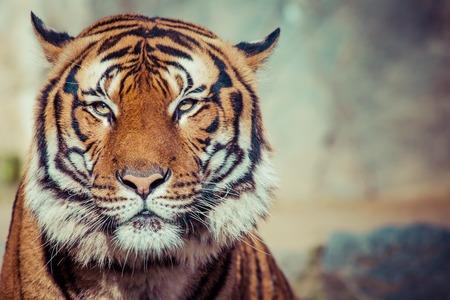 Close-up van een Tigers gezicht.