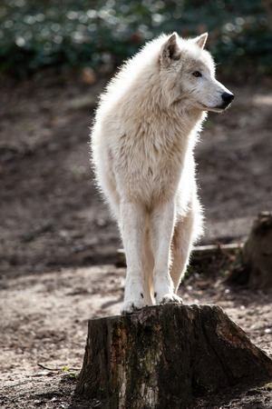 Arctic white wolf  photo