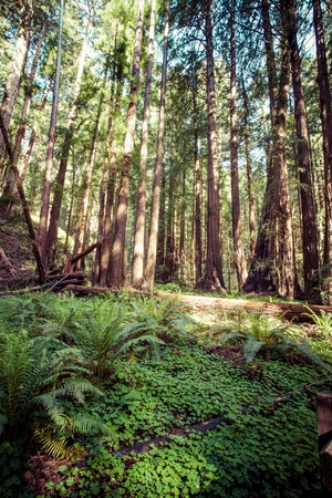 temperate: Redwood national park, pathway through the redwoods giants  Stock Photo