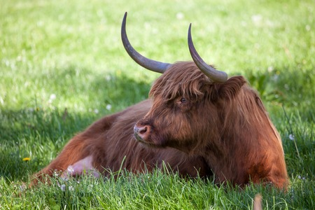 typically scottish: Scottish highland cow over green grass  Stock Photo