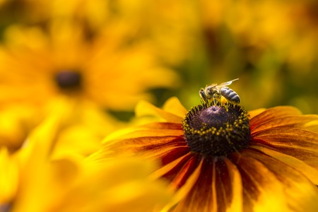 Close-up photo of a Western Honey Bee gathering nectar and spreading pollen on a young Autumn Sun Coneflower (Rudbeckia nitida).  Stock Photo