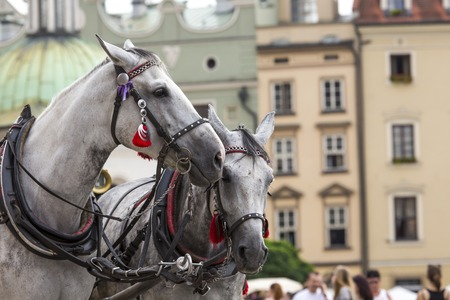 the coachman: Horses and carts on the market in Krakow, Poland. Stock Photo