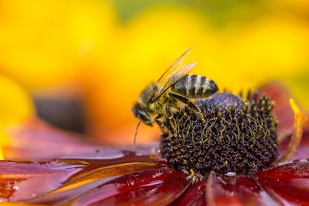distributing: Close-up photo of a Western Honey Bee gathering nectar and spreading pollen. Stock Photo