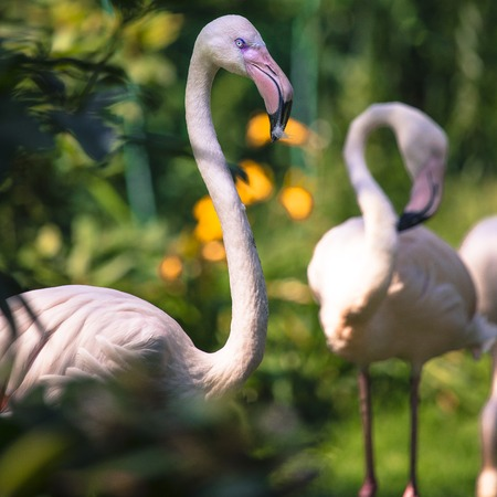 Pink flamingos against green background photo