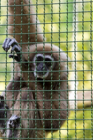 simian: Gibbons is in the zoo