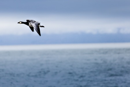 pelage: Group off Barnacle goose Stock Photo
