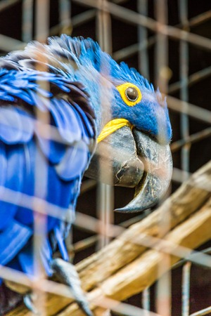 maccaw: Blue Hyacinth macaw parrot in zoo.  Stock Photo