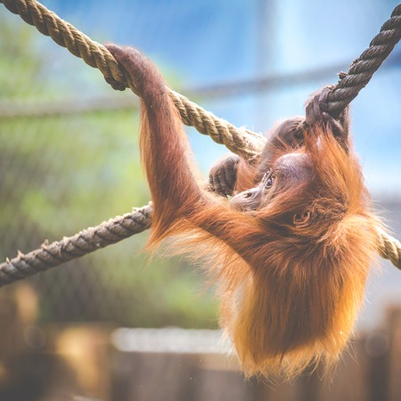 Stare of an orangutan baby, hanging on thick rope. A little great ape is going to be an alpha male. Human like monkey cub in shaggy red fur.  photo
