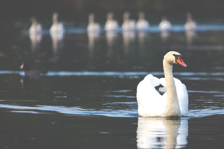 Tranquil Scene of a Swan Family Swimming on a Lake at autumn time. photo