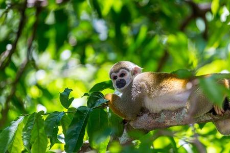 jungle animals: Un mono ardilla negro coronado sentado en un �rbol (Saimiri boliviensis Saimirinae)